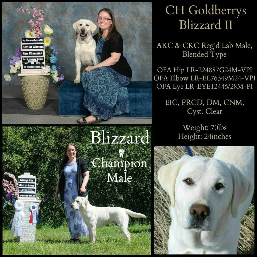 Champion labrador retriever male