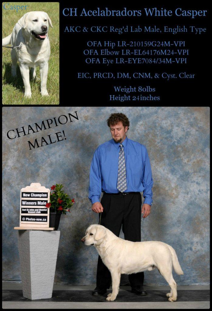 Champion male lab