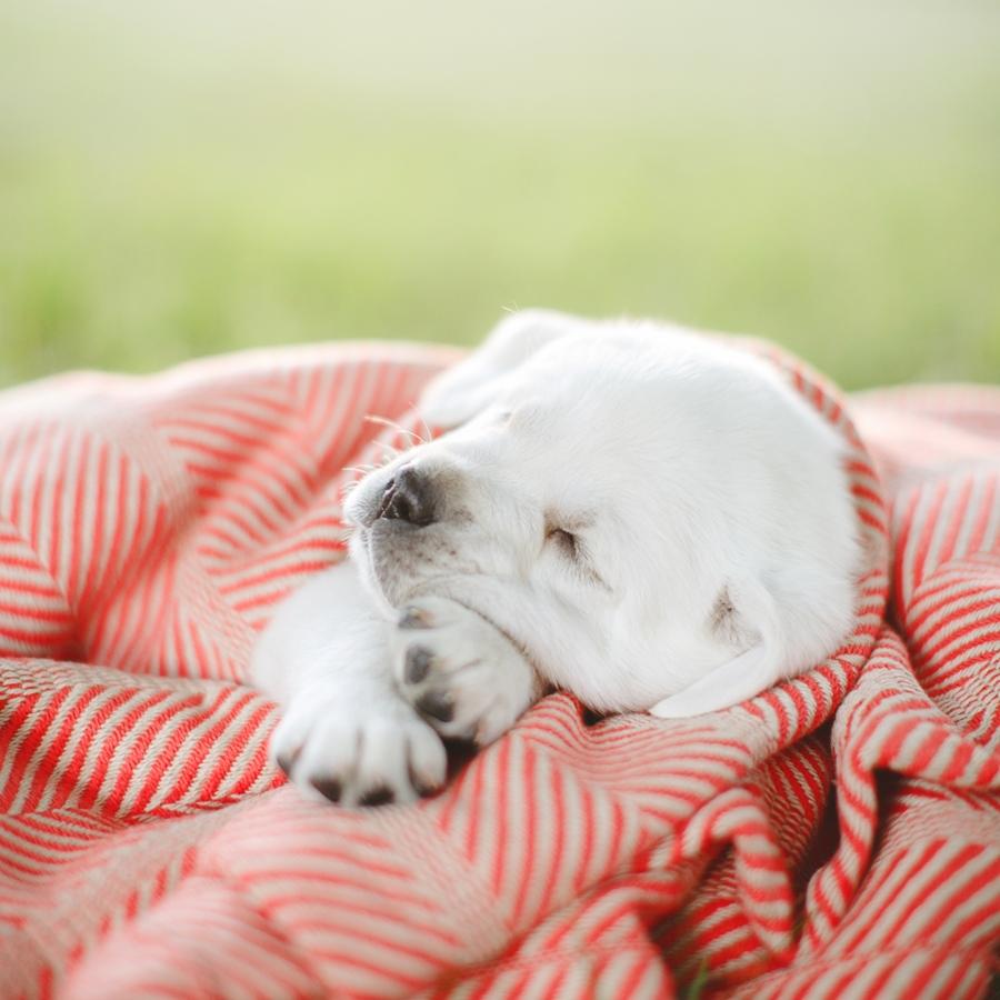 Ace Labradors sleeping puppy