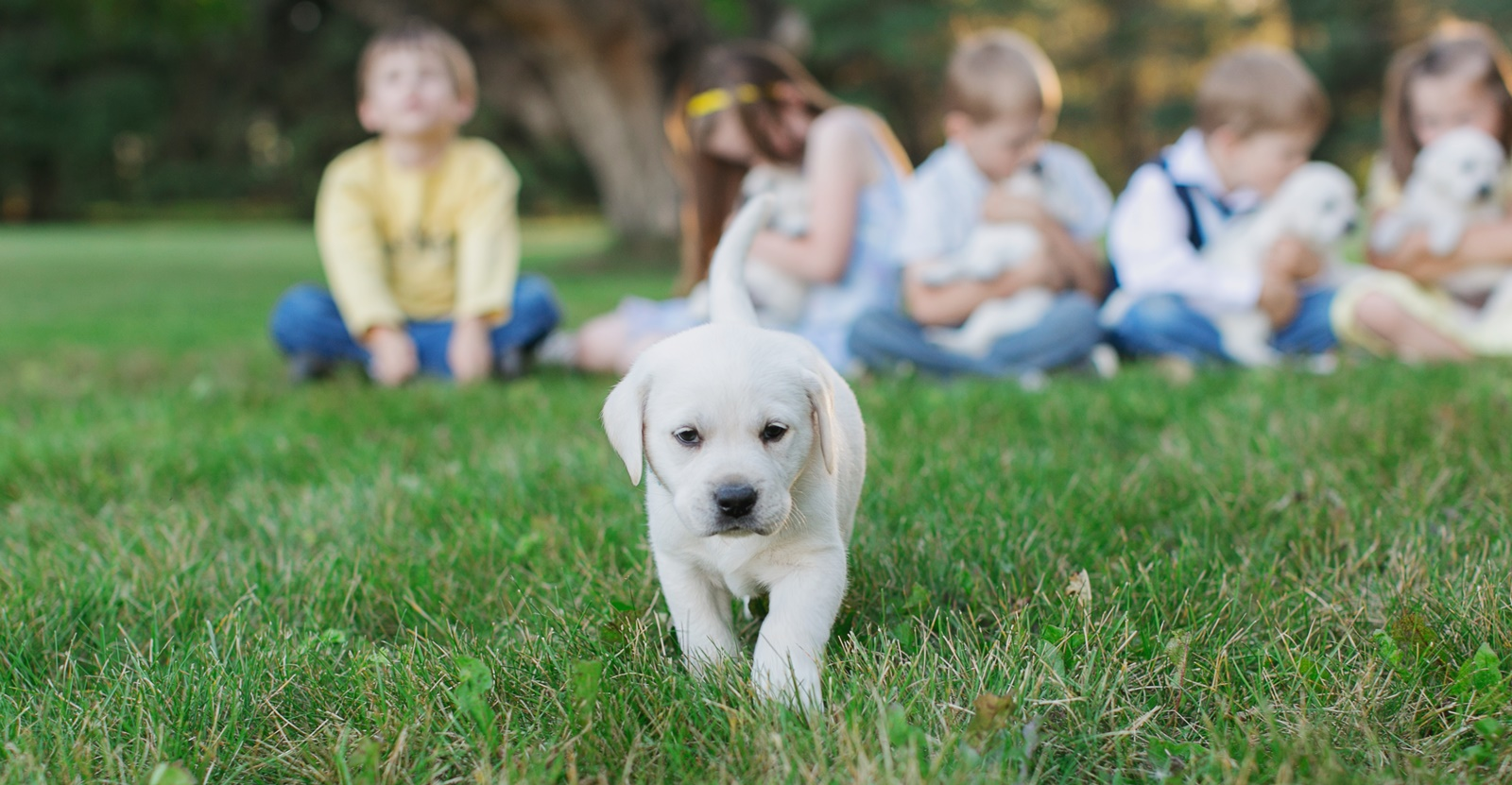 Ace Labradors white lab puppies for sale