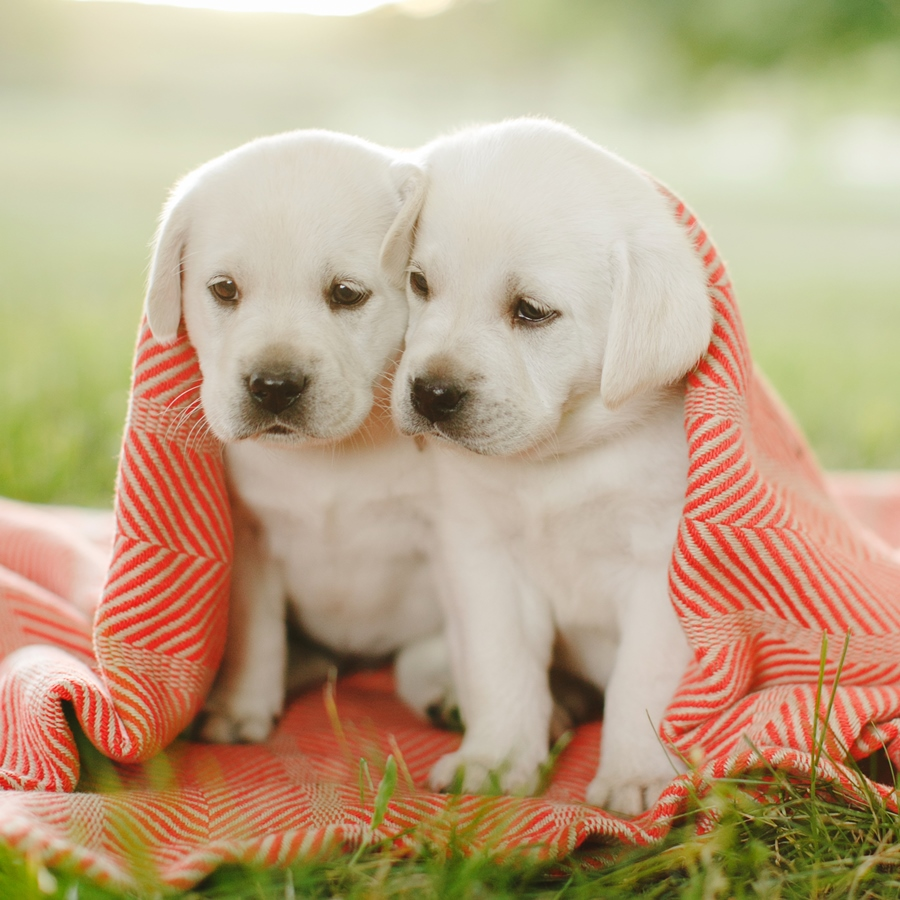 Ace Labradors two puppies red blanket