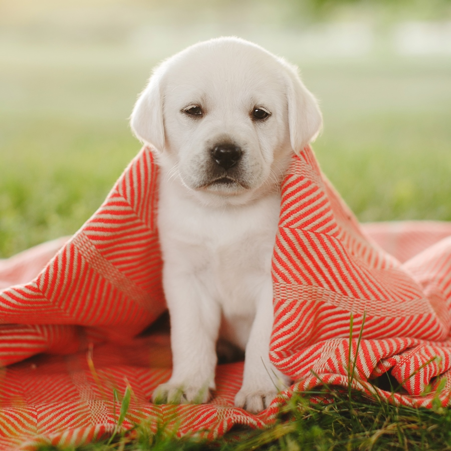 Ace Labradors puppy red blanket
