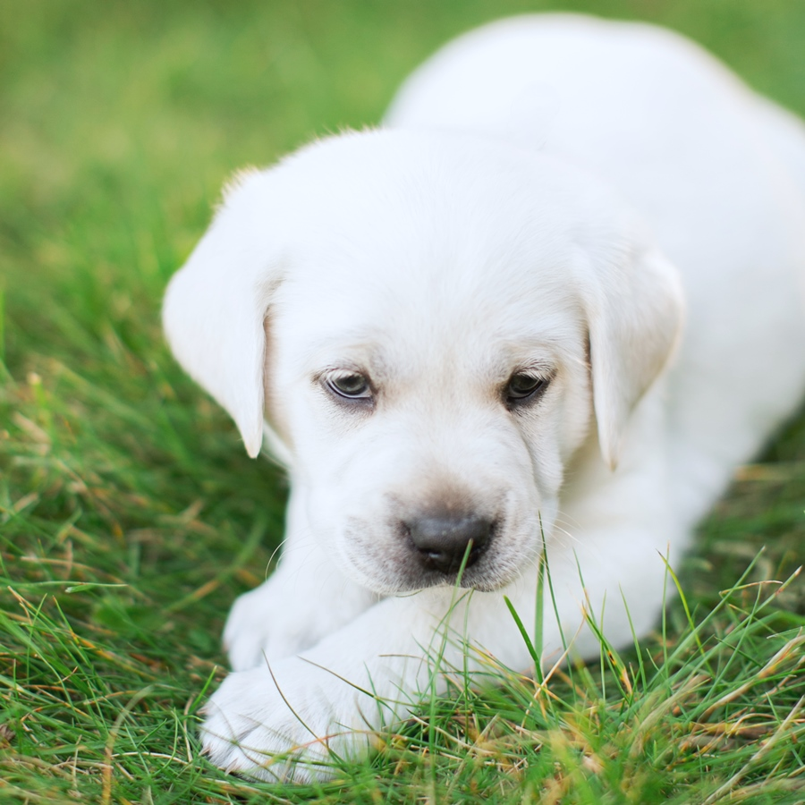 Ace Labradors white lab pup