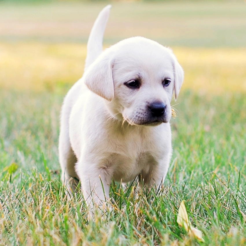 Ace Labradors labrador retriever puppy