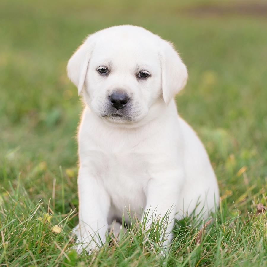 Ace Labradors lab puppy