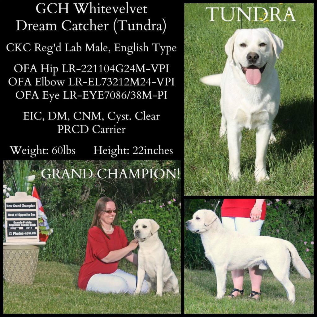 Grand Champion male lab